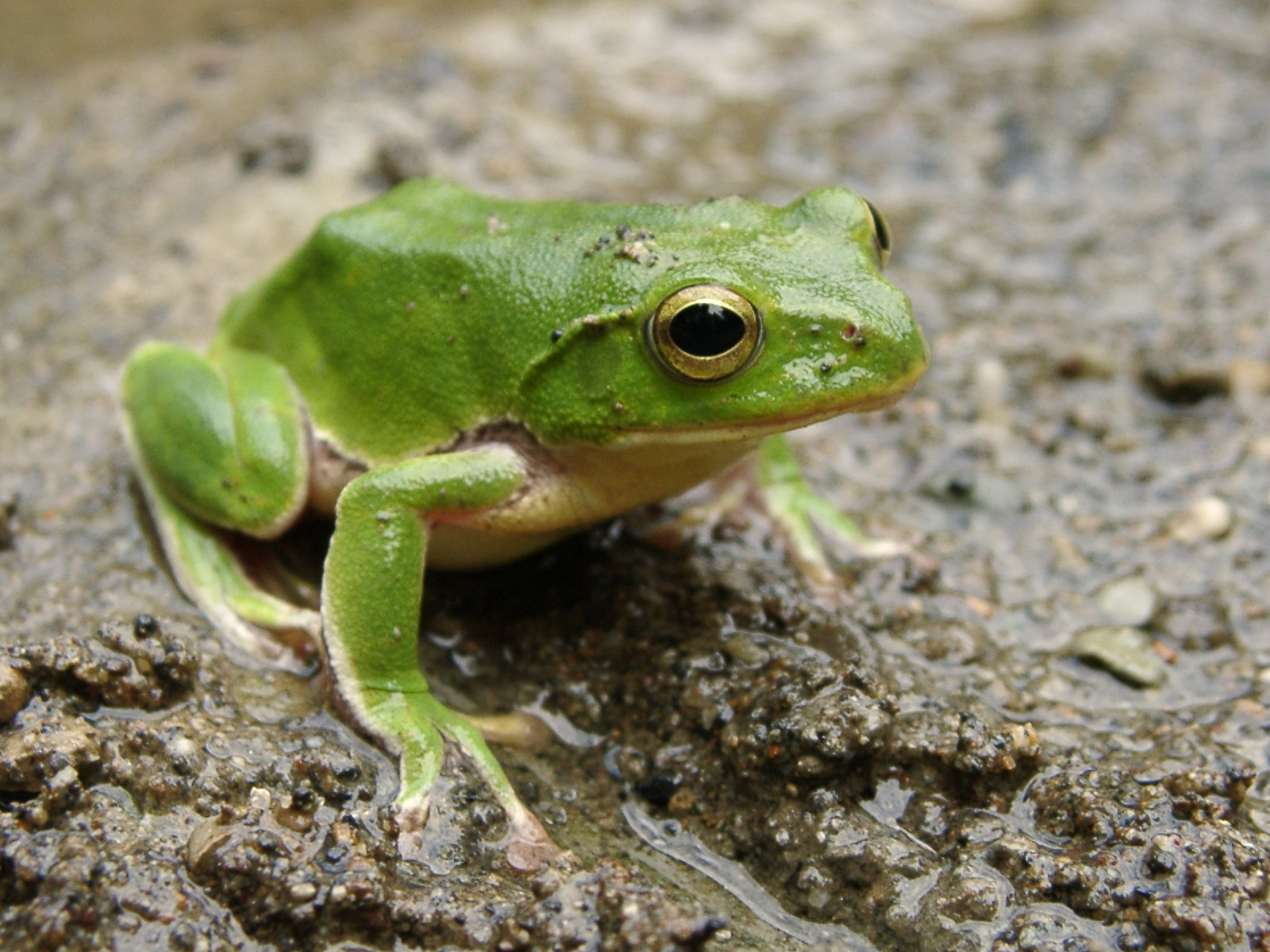 green_frog