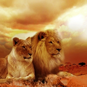 Lion and lioness in red desert