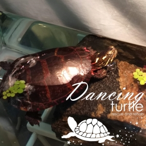 Healing Painted Turtle