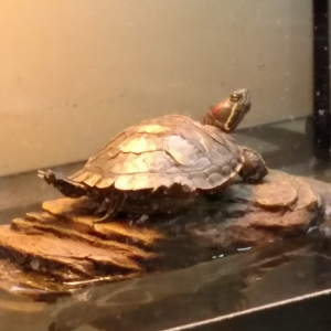 red eared slider turtle basking