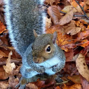 Grey squirrel standing on back feet looking up at camera
