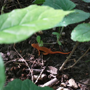 red eft eastern newt on the ground under leaves